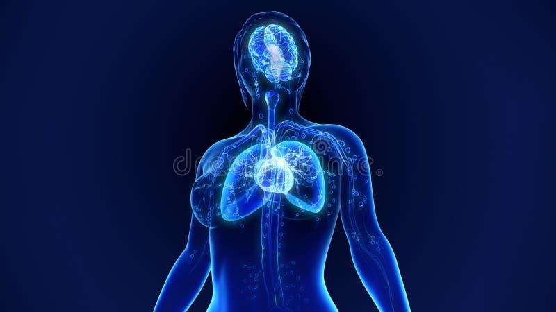 人体器官 库存图片
