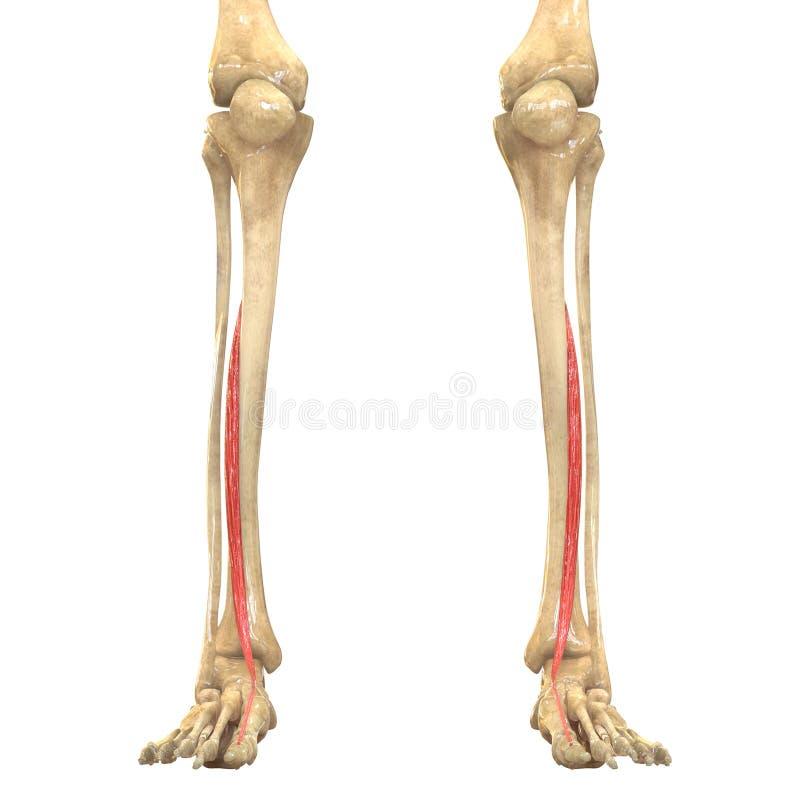 人体干涉解剖学(伸张机hallucis longus) 库存例证
