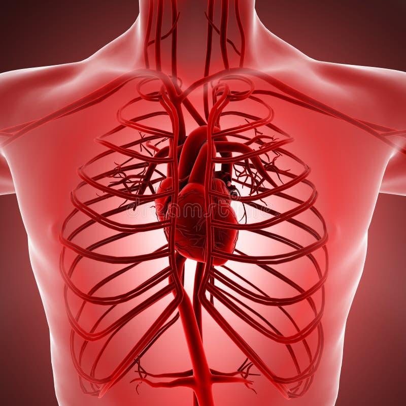 人体循环系统的X-射线视图与心脏动脉和静脉的 皇族释放例证