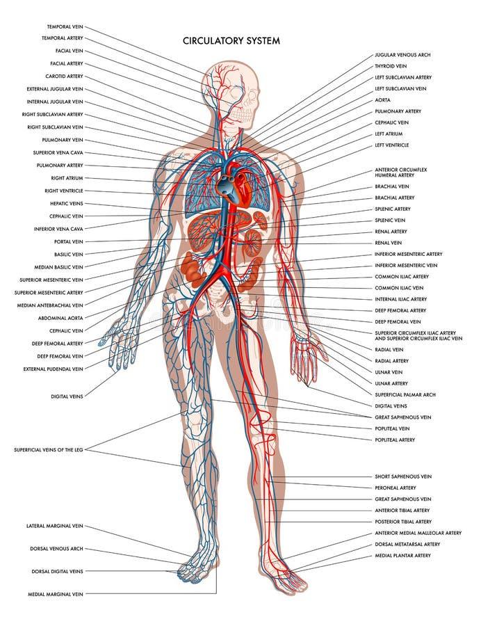 人体循环系统 免版税库存图片