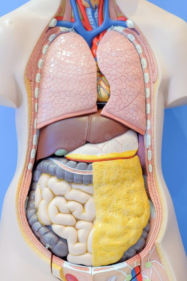 人体的内脏的解剖学模型 库存照片