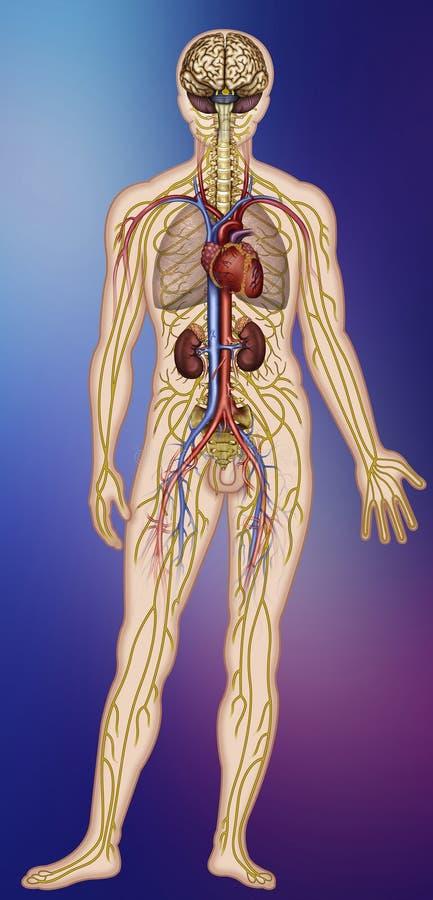 人体的紧张和循环系统的Cerebro例证 皇族释放例证