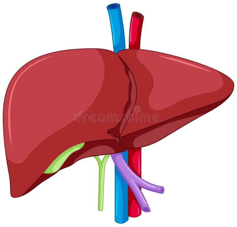 人体肝脏解剖学  皇族释放例证