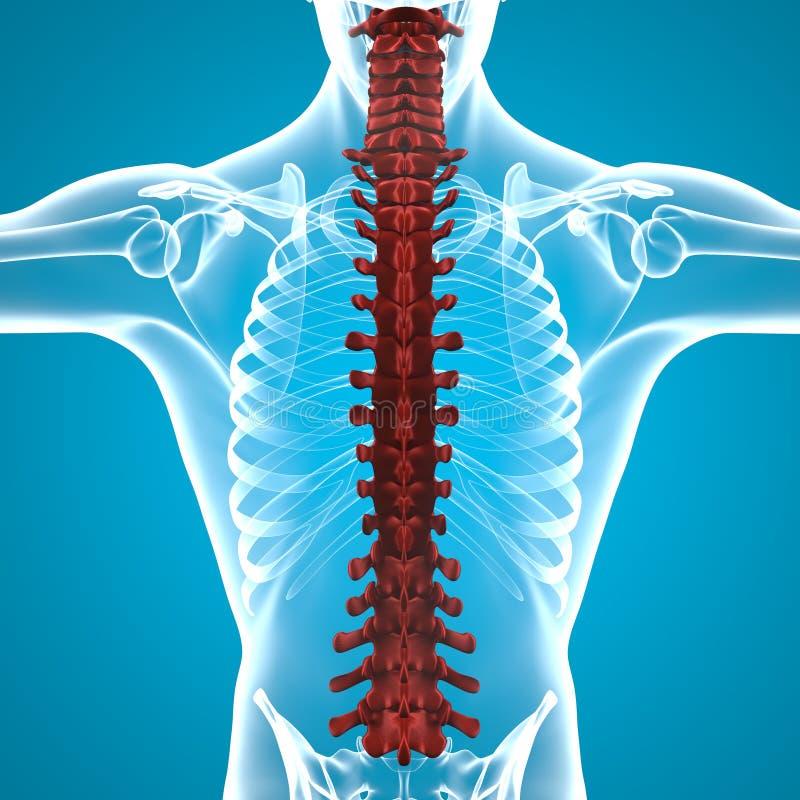 人体脊椎解剖学 向量例证