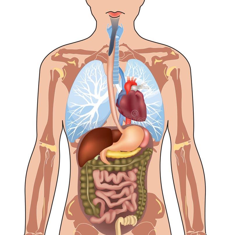 人体解剖学。 向量例证