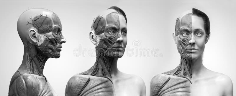 人体解剖学妇女的肌肉结构 皇族释放例证