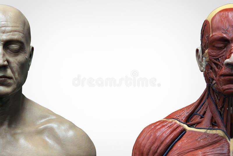 人体解剖学男性的肌肉结构 皇族释放例证