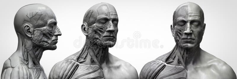 人体解剖学男性的肌肉结构 向量例证