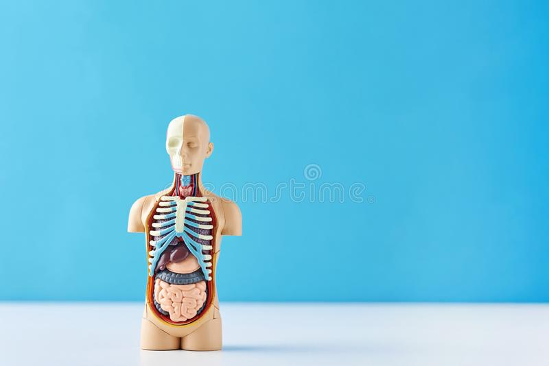 人体解剖模型与内脏的在蓝色背景 解剖学身体时装模特 免版税库存图片