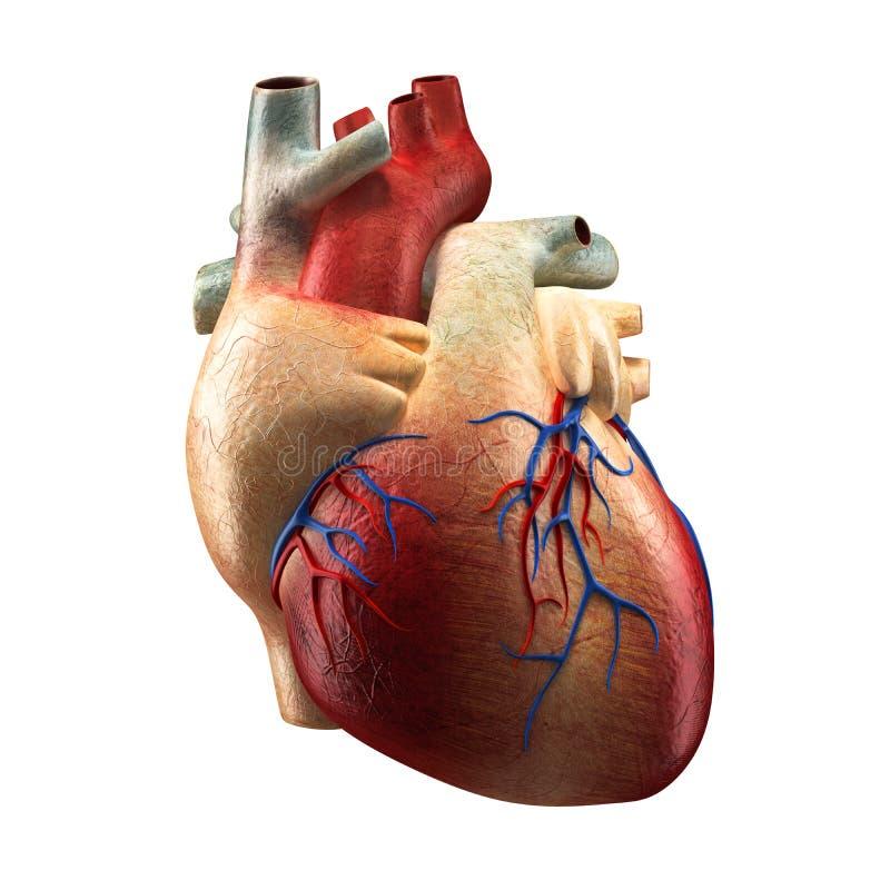 在白的人的解剖学模型隔绝的真正的心脏 库存例证