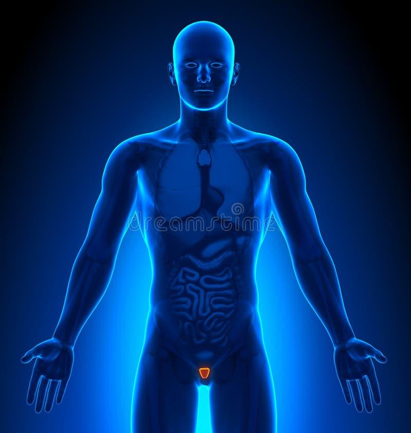 成象-男性器官-前列腺 库存例证