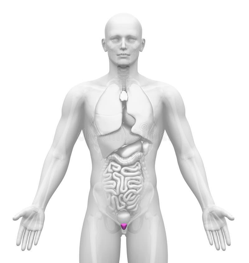 成象-男性器官-前列腺 皇族释放例证