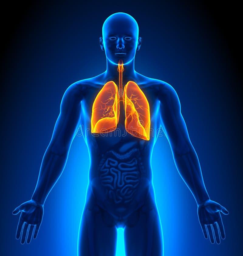 成象-男性器官-肺 向量例证