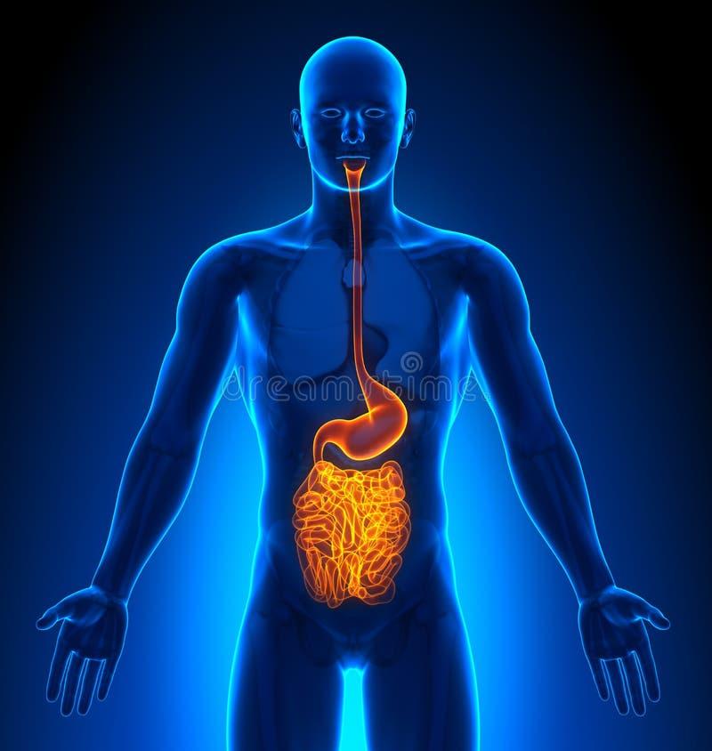 成象-男性器官-胆量 向量例证