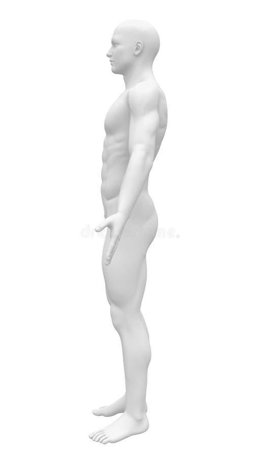 空白的解剖学形象-侧视图 向量例证