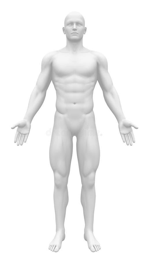空白的解剖学形象-正面图 库存例证
