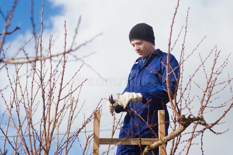年轻人修剪使用梯子的杏子早午餐 库存照片