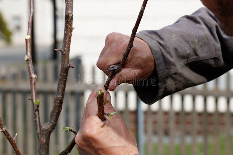 人切口苹果树 免版税图库摄影