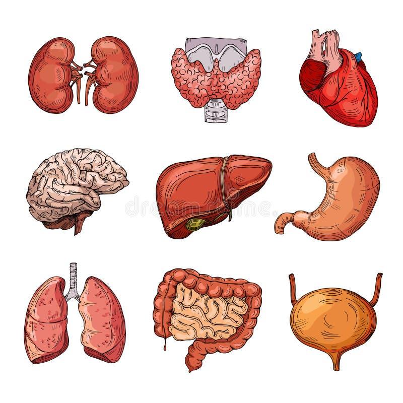 人力内脏 动画片脑子和心脏、肝脏和肾脏 传染媒介被隔绝的身体局部 皇族释放例证