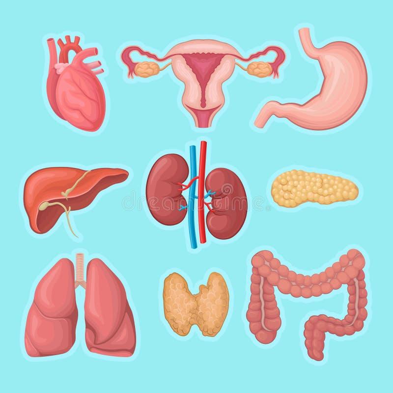 人力内脏 心脏,女性生殖系统,胃,胰腺,肾脏,肝脏,肺,大肠和 向量例证