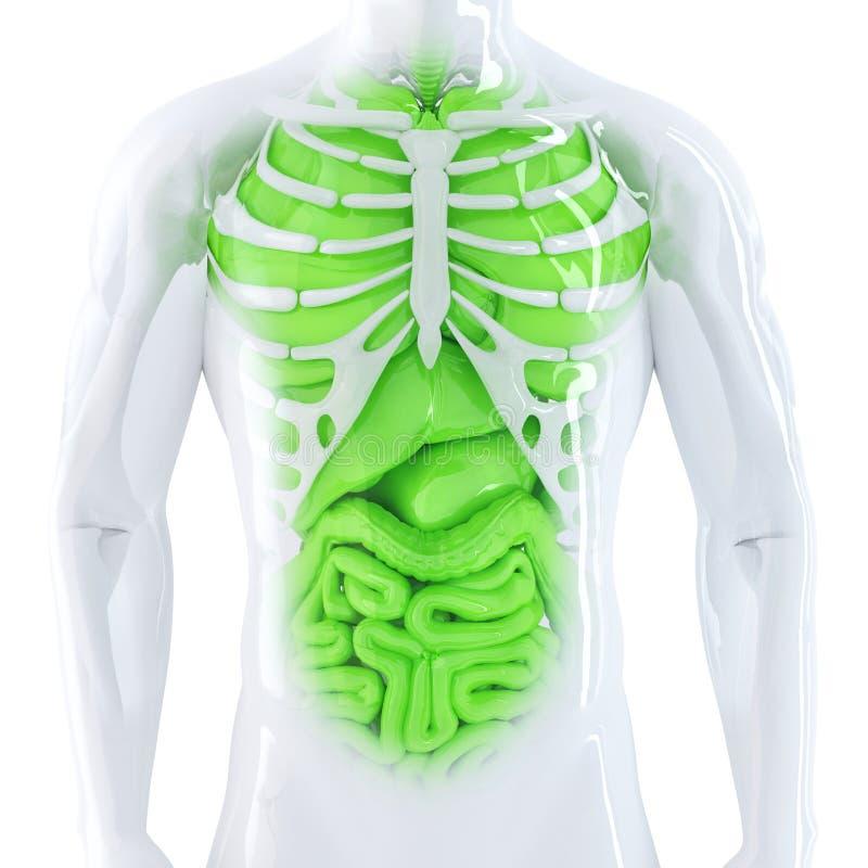 人力内脏 查出 包含裁减路线 库存例证