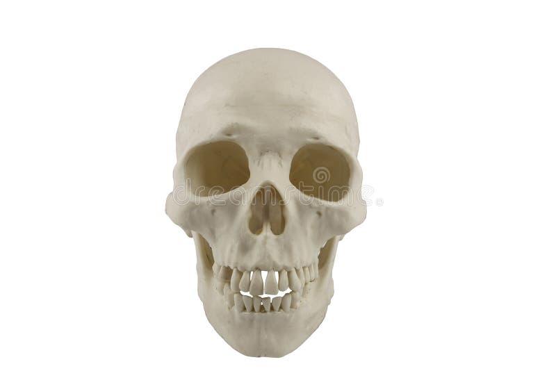 人力模型头骨 向量例证