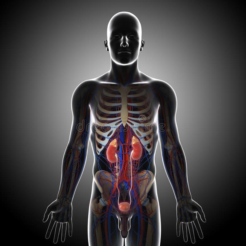 人力泌尿系统正面图在灰色X-射线的 库存例证
