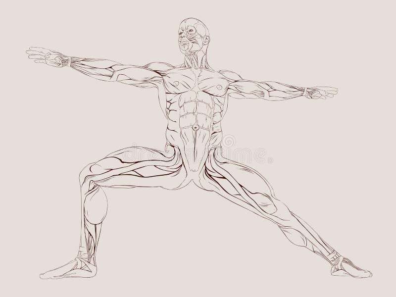 人力肌肉解剖学 向量例证