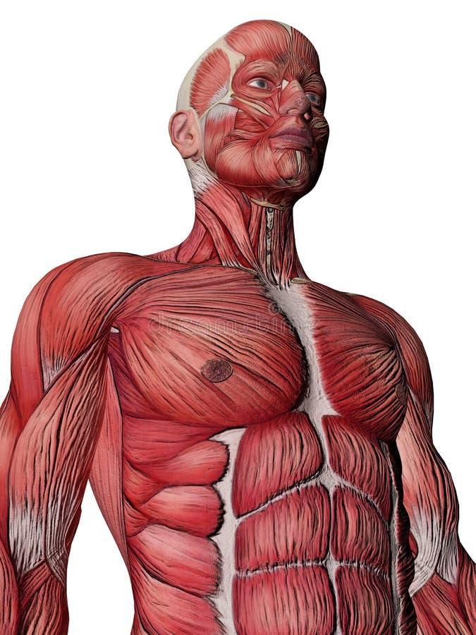 人力肌肉躯干X-射线 皇族释放例证