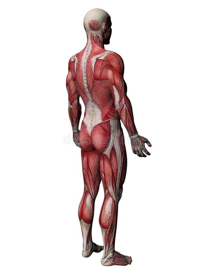 人力肌肉躯干X-射线 向量例证
