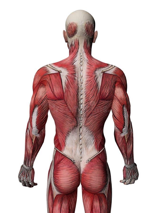人力肌肉X-射线 库存例证