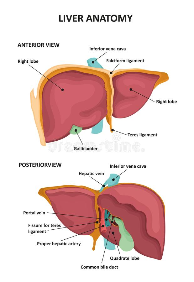 人力肝脏 向量例证
