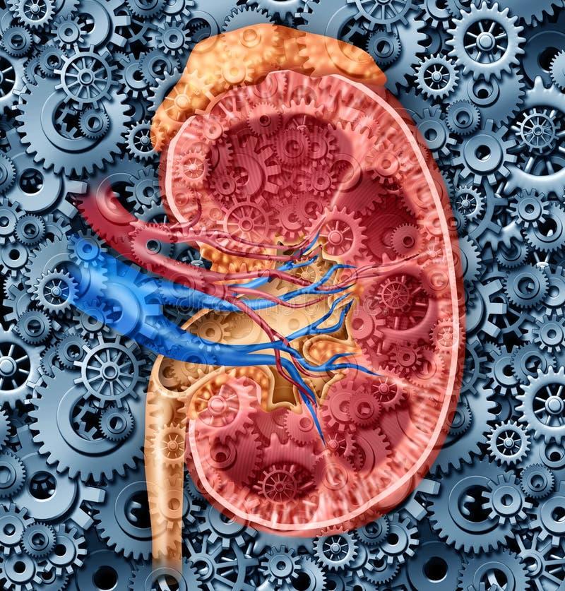 人力肾脏功能 库存例证