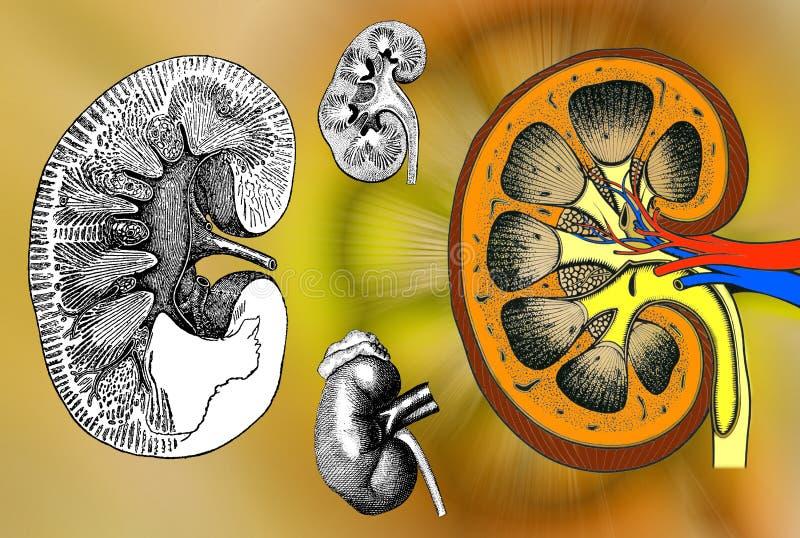 人力肾脏结构 库存例证
