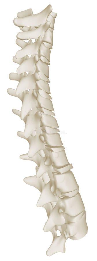 人力脊椎的胸部曲线 库存例证