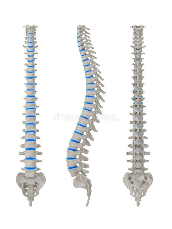 人力脊椎视图 向量例证