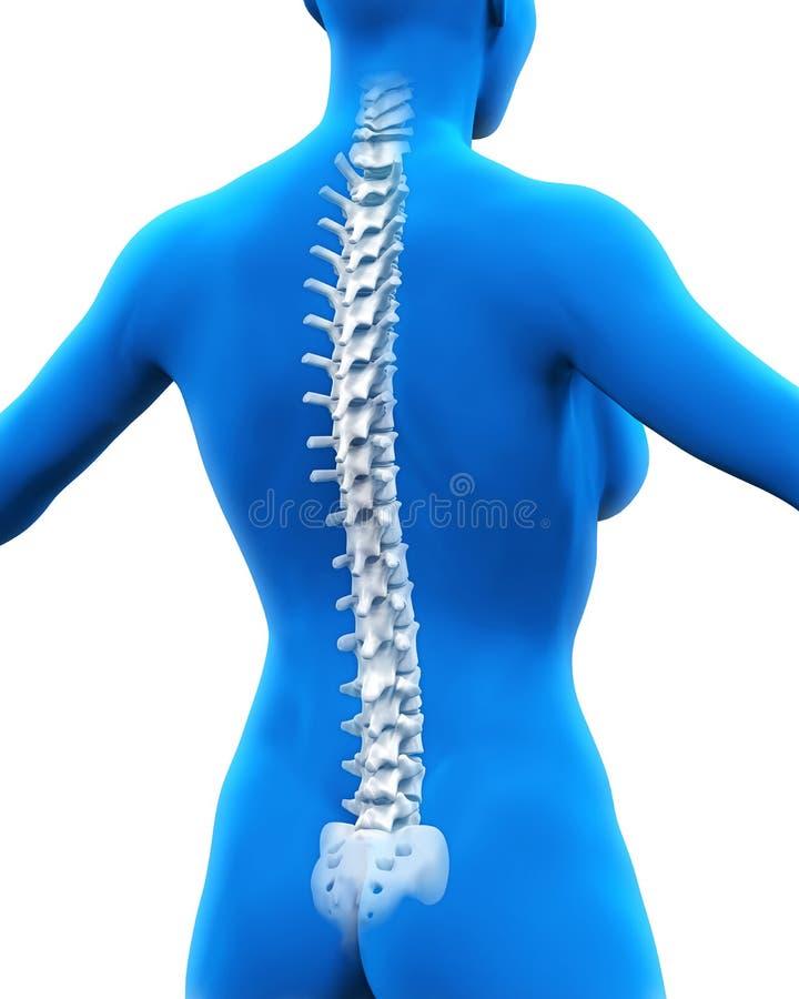 人力脊椎解剖学 皇族释放例证