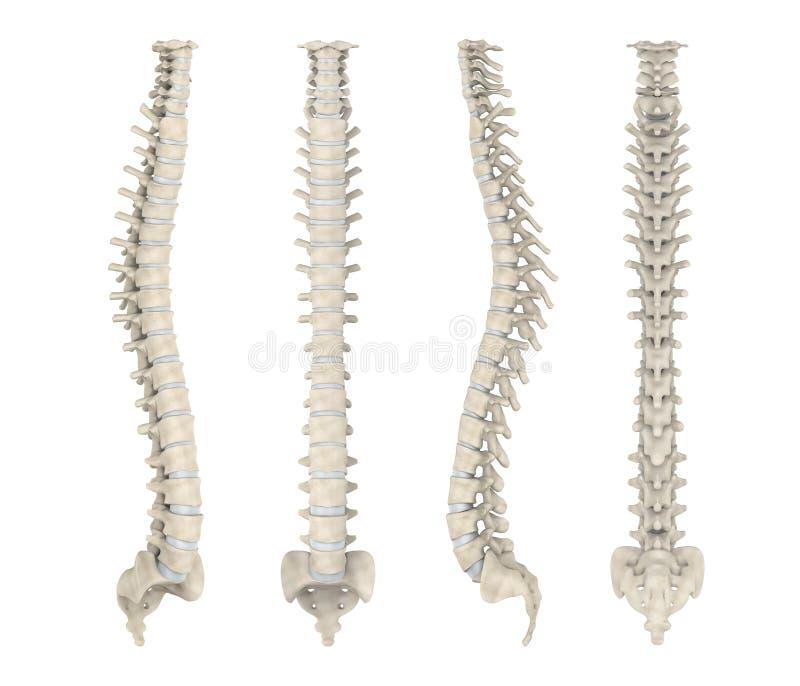 人力脊椎解剖学 库存例证