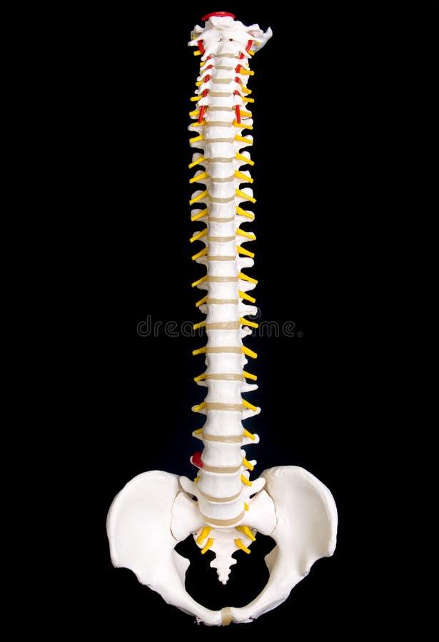 人力脊椎 库存图片
