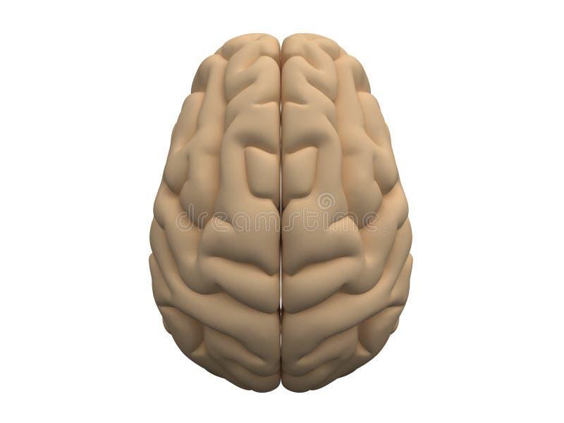 人力脑子的半球 库存例证