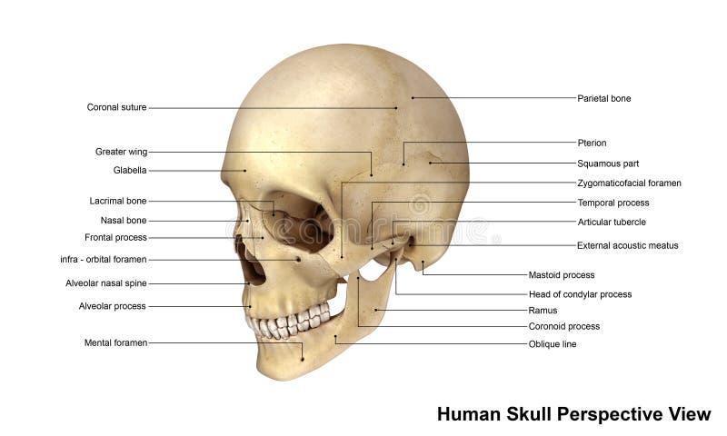 人力头骨 向量例证