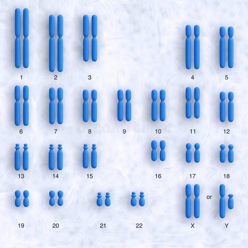 人力karyotype 库存例证