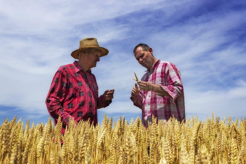 人和农夫检查麦子 麦子准备好收获 免版税库存图片