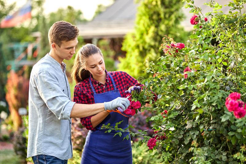 人和女孩花匠在美妙的庭院里切开了玫瑰丛在一好日子 免版税图库摄影