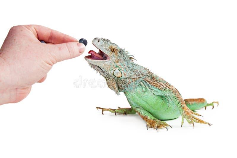 人哺养的鬣鳞蜥蓝莓 免版税库存图片