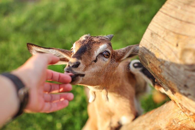人喂养的年轻棕色山羊孩子,查找舔他的手 免版税图库摄影