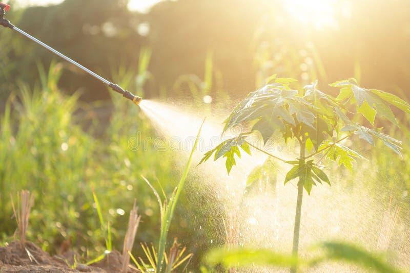 人喷洒的水或肥料对年轻番木瓜在加尔省 免版税库存图片
