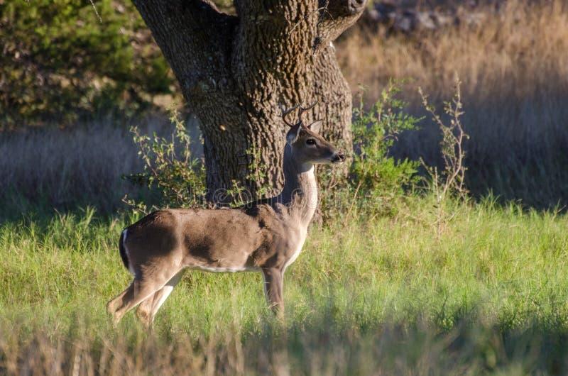 年轻人四头点Whitetailed鹿大型装配架 图库摄影