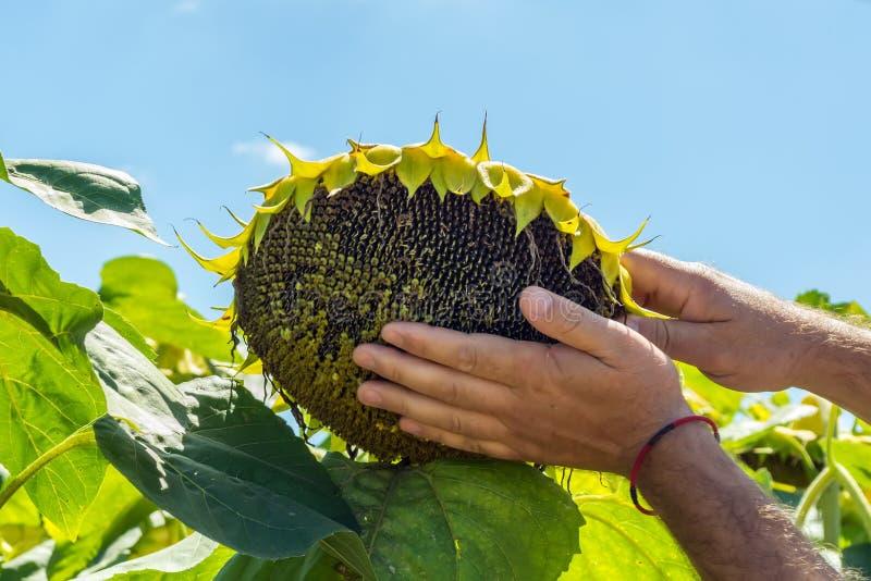 人在他的手上尝试向日葵种子,分析丰满度和质量 肥料的概念,设备保护 免版税库存图片