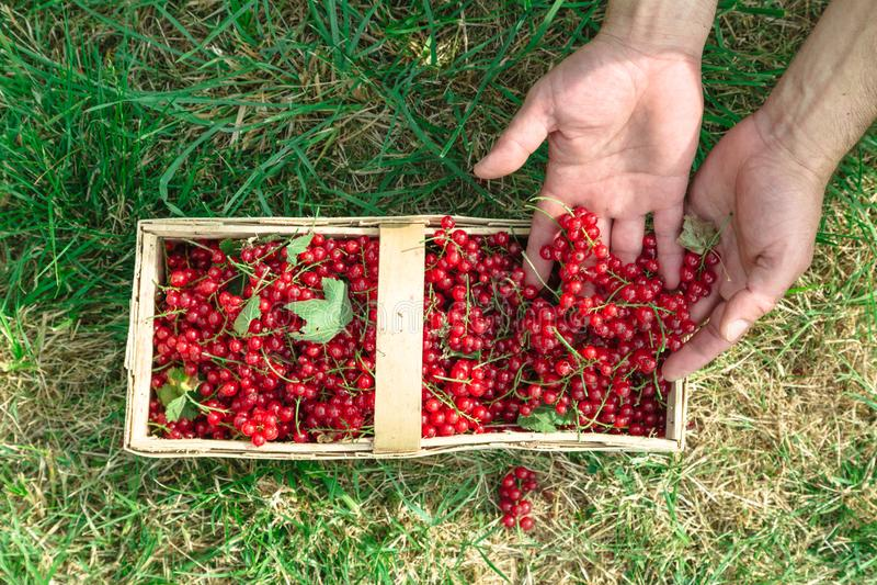 人在他的手上拿着红浆果在篮子 图库摄影